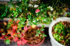 Red flower bloomed (yasu19_67) Tags: red flower bloomed film filmism filmphotography analog bokeh atmosphere photooftheday leica summicron50mmf2 50mm fujifilm fujicolor c200 osaka japan
