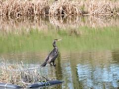 cormorant (menchuela) Tags: aves birds cormorant cormoran menchuela