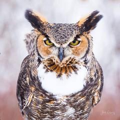 Great Horned Owl (jklewis4) Tags: birdsofprey greathornedowl howell howellnaturecenter michigan owl raptor bird birds nature
