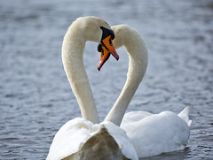 "Spring is here (Vidar ""the Viking"" Ringstad, Norway) Tags: spring cold sun sunshine swan heart love swim pair water neck nice naturepic natureshot nature bigbird birds wildbird canoneos5dmkiii oslo bøler østensjøvannet norge norway norwegen"