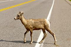 Yellowhead Hwy., Jasper National Park, Canada (leo_li's Photography) Tags: deer 鹿 parcnationaljasper 艾伯塔省 jaspernationalpark alberta canada 加拿大 亞伯達省 canadianrockymountains rockymountains 洛磯山脈 野生動物 wildlife 亞伯達 艾伯塔
