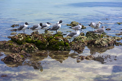 Laughing gulls (EJK0814) Tags: florida keywest laughinggulls birds