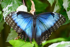 Peleides Blue Morpho Butterfly (Bri_J) Tags: tropicalbutterflyhouse northanston sheffield southyorkshire uk butterflyhouse yorkshire nikon d7200 peleidesbluemorpho butterfly bluemorpho blue