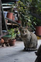 貓 (Bryan Shan@) Tags: sony a55 pentax supermulticoatedtakumar11885 supermulticoated takumar 85mm f18 cat 貓