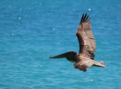 Canon2017.03.17 3277 (seahorse19911) Tags: birds brittanyanddadsvisit canon20170317 drytortugas florida floridakeys pelicans