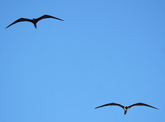 Canon2017.03.17 2936 (seahorse19911) Tags: birds brittanyanddadsvisit canon20170317 drytortugas florida floridakeys magnificentfrigatebird