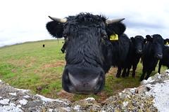 Welsh Black Beef Herd - calves (cmw_1965) Tags: welsh black beef herd sker porthcawl south wales glamorgan calf bullock bull cow heiffer fisheye lens calves