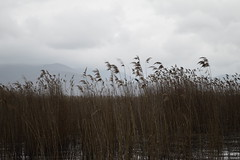 Reeds Abstract by ioanna papanikolaou  CSC_2642 (joanna papanikolaou) Tags: reeds sky clouds cloudy weather lakeshore prespes greece travel moody wind atmosphere scene outdoors nobody scape landscape nature natural
