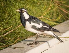 Magpie-lark (Mariasme) Tags: bird wildlife longjetty magpielark