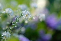 ma petite fée (christophe.laigle) Tags: bokeh raindrop fleur macro xf60mm nature flower fuji gouttes pluie fraîcheur xpro2 droplets christophelaigle forgetmenot myosotis ngc