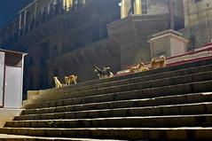 Varanasi dogs (Fif') Tags: inde india bharat 2017 varanasi bénarès benares sri shri uttar pradesh ganga gange gaṅgā gōnga ganges