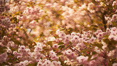 This is spring! (Caropaulus) Tags: bokeh blur helios442 spring flowers blossom tree light golden alpha7