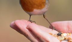 Robins Feet (The Rustic Frog) Tags: robin feet hand bird seed wild canon eos digital camera 70d lens sigma 150600mm warwickshire wildlife trust life food contemporary uk england midlands contral