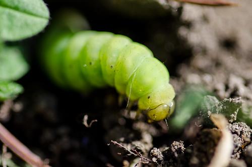 Lawn caterpillar ©  Still ePsiLoN