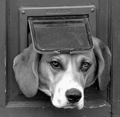 dog in a cat flap castleton derbyshire (3) (Simon Dell Photography) Tags: dudley basset hound castleton derbyshire dog cat flap funny cute awesome eye eyes wow stuck help me 2017 aprile simon dell photography april spring images photos sunny day nature wildlife animals landscape sheep lambs stunning green valley hope uk english country side countryside farm land houses village