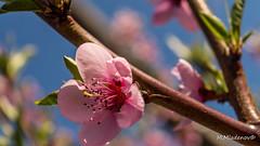 Peach blossom 07 (Milen Mladenov) Tags: 2017 d3200 nikon blossom branch flower flowers leaf leafs macro peach pink spring stamens