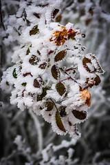 Winterkomposition (Tech-Nic) Tags: lx100 winter lumixlx100 frozen frost ice blätter winterkomposition panasonic eiskristalle