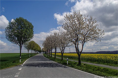 _frühling!! (l--o-o--kin thru) Tags: cycling baumberge klostergerleve raps allee explore inexexplore