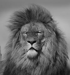 Yorkshire Wildlife Park  17.04.2017 072 (SnapAndy1512) Tags: yorkshirewildlifepark17042017 lion lions yorkshire yorkshirewildlifepark bigcats animals zoo ngc