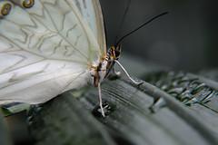 Papillons en Liberté 2017 - Photo 27 (Le Chibouki frustré) Tags: nikon nikond700 d700 700 fx fullframe montréal montreal homa hochelagamaisonneuve macro macrophotographie botanicalgarden jardinbotanique jardinbotaniquedemontréal montrealbotanicalgarden butterfly insect insects bokeh dof pdc papillonsenliberté2017 butterfliesgofree2017 closeuplens closeupfilter