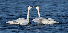 Tundra Swans (nikunj.m.patel) Tags: swan swans tundraswan winter waterfowl migration nature wildlife photography avian chesapeake bay maryland
