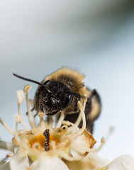 bee collecting pollen (Danyel B. Photography) Tags: sigma 180mm 35 apo macro bee biene insect insekt makro close nah