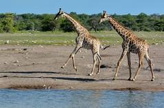 Angolan Giraffe's (Giraffa giraffa angolensis) at an Etosha Waterhole. (One more shot Rog) Tags: giraffe giraffes wildlife tallest large africangiraffes drink thirst etosha etoshanationalpark etoshawaterholes nature waterhole safari himba onemoreshotrog rogersargentwildlifephotography african animales
