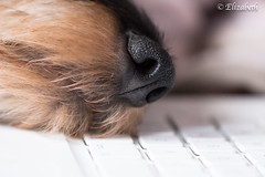 When my mum is doing work on her computer I climb down from my throne and rest my head on the keyboard...I do this for attention, because, lets face it....I'm a dog and I can never get enough! (beth3974) Tags: titine dachshund dog computer nose face portrait