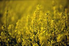Immersion dans un champ de colza (Excalibur67) Tags: nikon d750 sigma 70200f28apoexdgoshsm flowers fleurs paysages landscape paysage printemps spring frühling couleurs colza jaune yellow 28