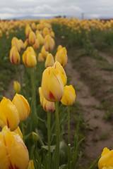 Wooden Shoe Tulip Festival 2017 (kcosman1991) Tags: pnw oregon flowers tulips woodenshoetulipfestival tulipfestival nature outdoors willamettevalley