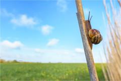 Envie d'ailleurs (PascaLucasJy) Tags: printemps spring escargot snail champs paysage landscape lumière soleil sun proxi plante roseaux colza