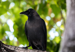 Maldavian Crow (Orias1978) Tags: birdblack crow curious chordata greynecked canon protegatus intelligent feather indian atol flight maldavian ceylon moofushi island beak maldives eye asian colombo housecrow