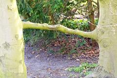 Bäume helfen sich (paulfigdor) Tags: zhongyi lens turbo ii manual focus pentax 80 200