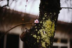 Sanrokugama : Plum Blossoms (Nazra Zahri) Tags: plumblossoms spring vscofilm bizen okayama japan raw 2017