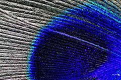 Peacock Feather Macro (Paul_Dean) Tags: peacock feather macro blue