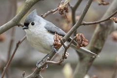 Tufted Titmouse 4-1-2017-7 (Scott Alan McClurg) Tags: animalia aves bbicolor baeolophus chordata neoaves neognathae neornithes paridae passeri passerida passeriformes animal bird bokeh flickrbirds forest life nature naturephotography perch perching portrait songbird spring suburbs titmouse tree tufted tuftedtitmouse wild wildlife yard delaware