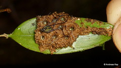 Harvestman, Opiliones, Nomoclastidae guarding nest under an orchid leaf, Lepanthes sp. (Ecuador Megadiverso) Tags: andreaskay arachnida cranaidae ecuador egg harvestman lepanthessp newspecies opiliones orchid spider nomoclastidae