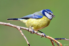 Chapim azul - Blue tit - Parus caeruleus (Yako36) Tags: portugal peniche azeitão ave bird birdwatching nature natureza nikonafs300f4 nikond7000