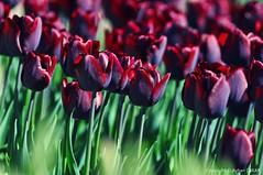 Tulip of the Hearts (NATIONAL SUGRAPHIC) Tags: türkiye yenitürkiye newturkei turkei naturephotography doğafotoğrafçılığı mothernature annedoğa fairytales sarıyer istanbul emirgan emirgankorusu tulips laleler türkiyeninlaleleri tulipsofturkei tulipland flowers çiçekler ayhançakar nationalsugraphic sugraphic