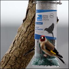 Birdbrain (Finding Chris) Tags: birdbrain goldfinch red yellow feathers birds brightonmarina chrisbarbaraarps canon60d palmtree harbour
