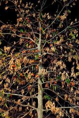 Noisy Fruit (John_de_Souza) Tags: johndesouza noisyfruit lorikeets rainbowlorikeet nature