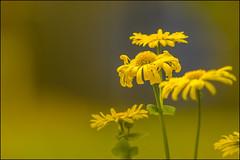 Beautiful Glow (Atrista Vig ) Tags: background blumenundblüten bokeh frühling gelb hintergrund ilce7 outdoor pflanze sony sonya7 sonyalpha7 sonyfe70200mmf4goss spring unscharf unschärfe yellow