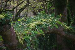 IMG30186a_C (Kernowfile) Tags: glendurgangarden plants trees flowers
