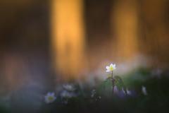 La fée des bois (Thomas Vanderheyden) Tags: anemone anemonenemorosa bokeh colors couleur fleur fleursauvage flora flore flower france fujifilm macro nature picardie proxi samyang135mm thomasvanderheyden vegetal xt1 spring printemps