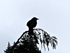 Blackbird Singing in the Closing Light (Donna JW) Tags: picmonkey turdusmerula blackbird silhouette