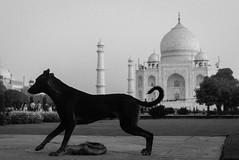 Random Visitor. (vjisin) Tags: tajmahal wonder agra india architecture shahjahan mumtaj asia whitemarble marble mughal wonderofworld outdoor mosque tajmosque blackandwhite monochrome indianheritage nikond3200 nikon nikonofficial dog incredibleindia indianstreetphotography streetphotography street moments