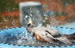 Robin Bath (starmist1) Tags: birdbath robin splashing bathing fun happy bird water