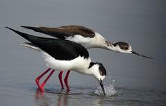 Preliminari (ddgp) Tags: birds uccelli oiseaux lovers racconigi italia piemonte water acqua love foreplay trampoliere black white red nikon