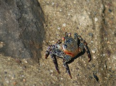 Feeling a little crabby (Kim's Pics :)) Tags: crab crustacean animal colorful spotted rocks blendingin basking sunshine mexico puertavallarta
