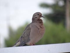 DSC00197 (familiapratta) Tags: sony dschx100v hx100v iso100 natureza pássaro pássaros aves nature bird birds novaodessa novaodessasp brasil